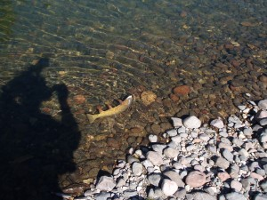 Yellowstone cutthroat, First meadow, Slough Creek
