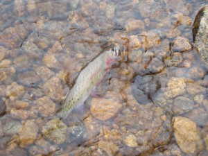 Slough Creek cutt